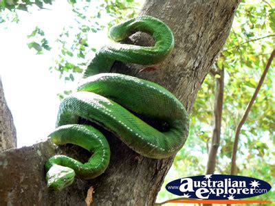 LARGE SNAKE IN A TREE PHOTOGRAPH, LARGE SNAKE IN A TREE