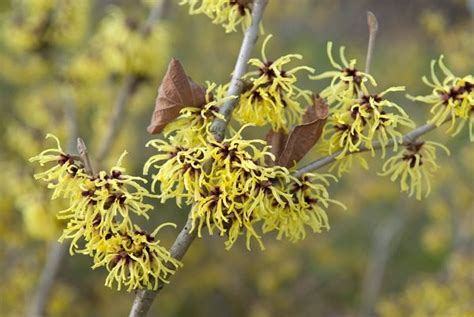 Growing Witch Hazel: How to Care for Witch Hazel in the