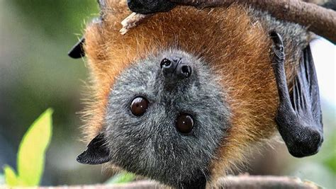 Flying foxes are on the move in local area   Gippsland