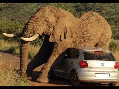 Elephant scratches itch on top of car terrifying