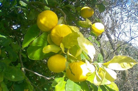Researchers in Italy Found Bergamot Lowered Blood