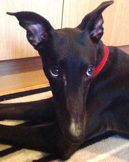 Johnny - 8 month old male Greyhound available for adoption